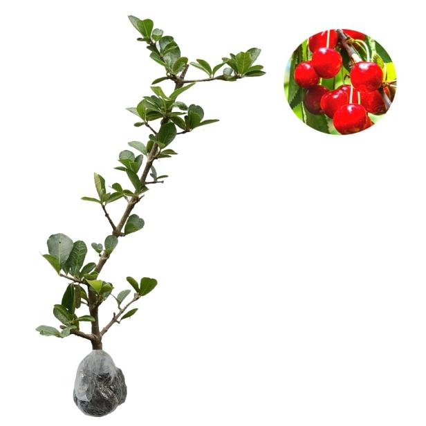 tanaman-barbados-cherry