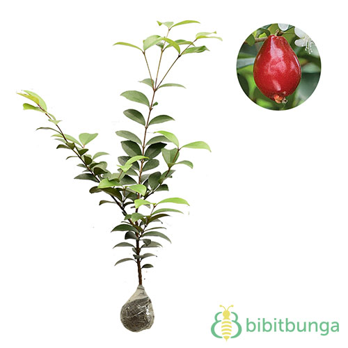 tanaman-beach-cherry