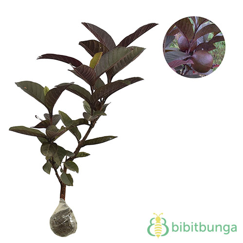 tanaman-jambu-biji-merah-australia