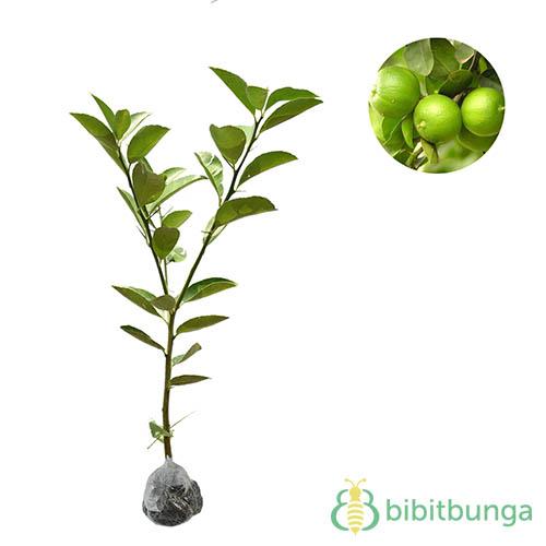 tanaman-jeruk-nipis