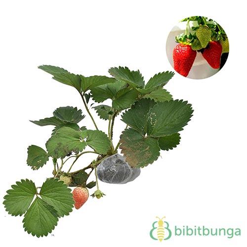 tanaman-strawberry-california